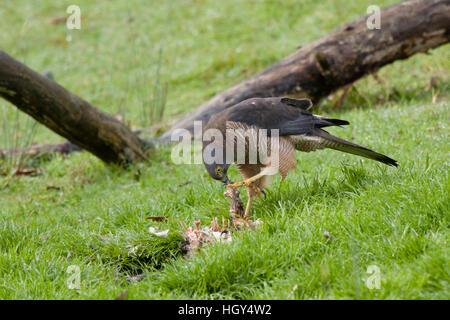 Brown Goshawk - feeding on dead possum Accipiter fasciatus Bruny Island Tasmania, Australia BI031243 - Stock Photo