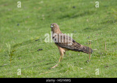 Swamp Harrier - feeding on dead possum Circus approximans Bruny Island Tasmania, Australia BI031253 - Stock Photo