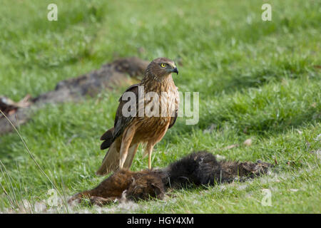 Swamp Harrier - feeding on dead possum Circus approximans Bruny Island Tasmania, Australia BI031262 - Stock Photo