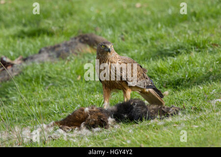 Swamp Harrier - feeding on dead possum Circus approximans Bruny Island Tasmania, Australia BI031265 - Stock Photo