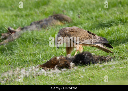 Swamp Harrier - feeding on dead possum Circus approximans Bruny Island Tasmania, Australia BI031266 - Stock Photo