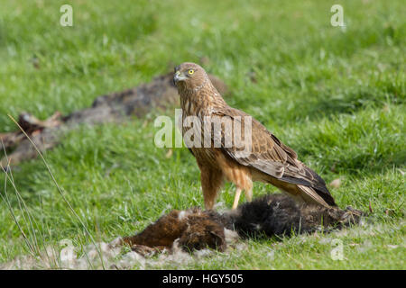 Swamp Harrier - feeding on dead possum Circus approximans Bruny Island Tasmania, Australia BI031267 - Stock Photo