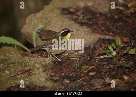 Yellow-throated Scrubwren Sericornis citreogularis Lamington National Park Queensland, Australia BI031378 - Stock Photo