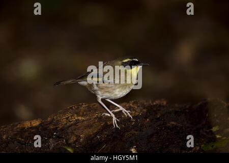 Yellow-throated Scrubwren Sericornis citreogularis Lamington National Park Queensland, Australia BI031382 - Stock Photo