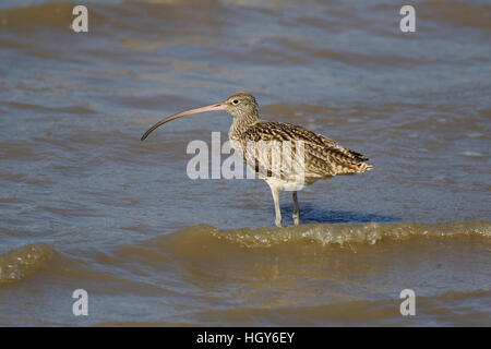 Eastern Curlew Numenius madagascariensis Cairns Queensland, Australia BI031495 - Stock Photo