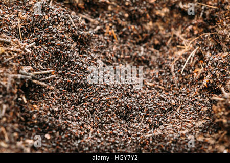 Red Forest Ants (Formica Rufa) In Anthill Macro Photo, Big Anthill Close Up, Ants Moving In Anthill. Background Of Red Ant Colony