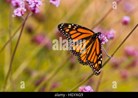 A monarch butterfly in Meredith, New Hampshire. - Stock Photo