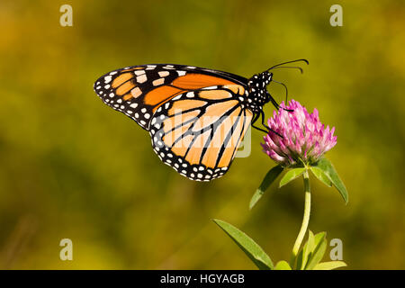 A monarch butterfly, Danaus plexippus, on clover in Grafton, Massachusetts. - Stock Photo