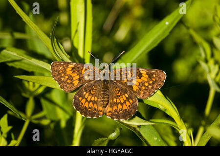 A silvery checkerspot butterfly, Chlosyne nycteis, in Sabins Pasture, Montpelier, Vermont. - Stock Photo