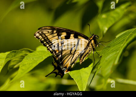 An eastern tiger swallowtail butterfly, Papilio glaucus, in Sabins Pasture, Montpelier, Vermont. - Stock Photo