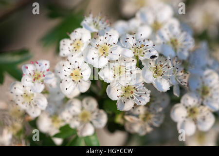A close-up of hawthorn blossom with a tiny black pollen beetle (Meligethes aeneus) on a petal in a Northamptonshire - Stock Photo