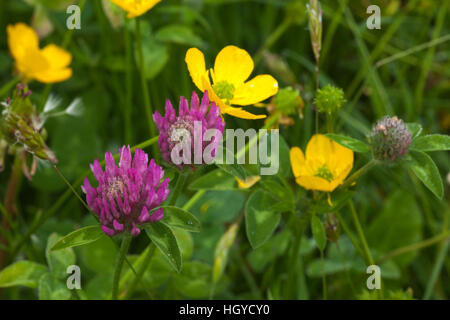 Red clover (Trifolium pratense) and buttercups (Ranunculus) growing in a haymeadow at Harlestone in Northamptonshire, - Stock Photo