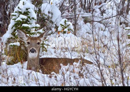 A  White-tailed doe deer {Odocoileus virginianus}  lying in the fresh snow - Stock Photo
