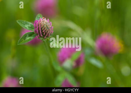 Close up shot of flowering red clover with blurred background growing in a haymeadow at Harlestone in Northamptonshire, - Stock Photo