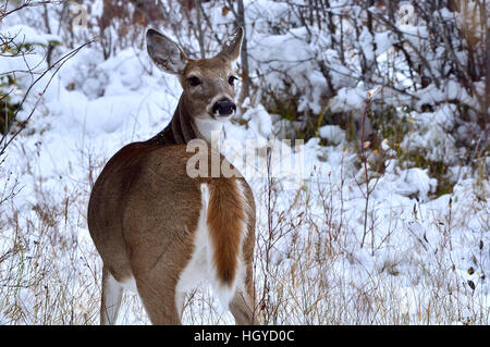 A white-tail deer {Odocoileus virginianus} looks back to see if any danger is following her - Stock Photo