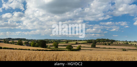 A panoramic view of fields of ripened oats bathed in warm early evening summer sunshine near Holdenby, Northamptonshire, - Stock Photo