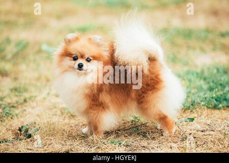 Pomeranian Spitz Toy Dog Breed Stock Photo Royalty Free