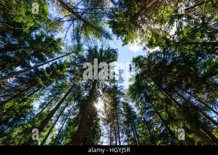 Bad Brambach: Spruces in the Elstergebirge, Vogtland, Sachsen, Saxony, Germany - Stock Photo