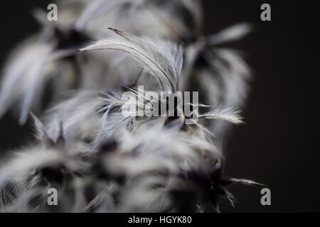 Close up of Clematis vitalba also known as Old Man's Beard in winter - Stock Photo