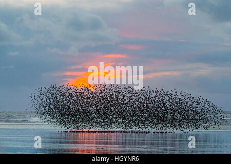 Starling Murmuration over water. Blackpool, Lancashire. 13th Jan 2017.   The last waltz before bed, a swarm of thousands - Stock Photo