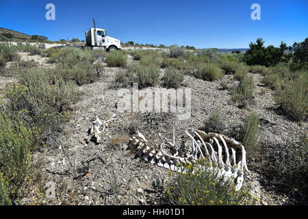 White Pine County, Nevada, USA. 12th July, 2016. The skeleton remains of a large animal, perhaps a deer or antelope - Stock Photo