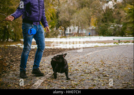 walking the dog French Bulldog. Male host plays with his pet on the street in the yard with a stick - Stock Photo