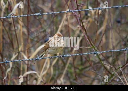 Female common reed bunting (Emberiza schoeniclus) - Stock Photo