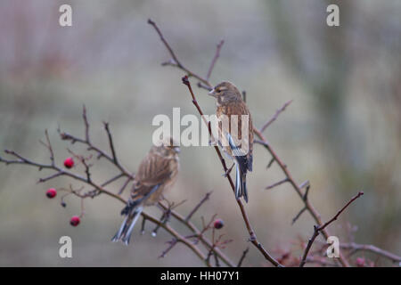 Common linnet (Linaria cannabina) perched