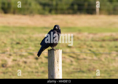 Carrion Crow (Corvus corone) perched on a post - Stock Photo
