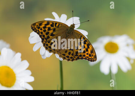 Kaisermantel, Weibchen, Silberstrich, Argynnis paphia, Silver-washed fritillary, female, Le Tabac d'Espagne, Edelfalter, - Stock Photo