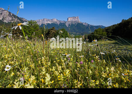 Wildlfower meadow with Mont Aiguille beyond near Chichilianne Vercors Regional Natural Park Vercors France - Stock Photo