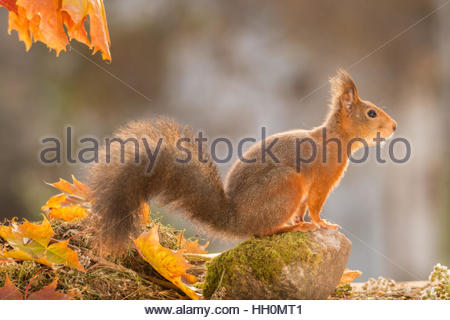 red squirrel standing on rock between leaves - Stock Photo
