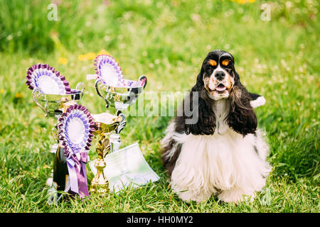 American Cocker Spaniel Dog Sitting On Green Grass Next To Three Cups Of Won At The Dog Show. Sunny Summer Day. - Stock Photo