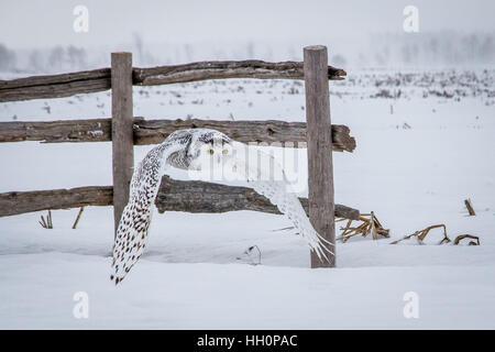 SNowy Owl 2017 - Stock Photo
