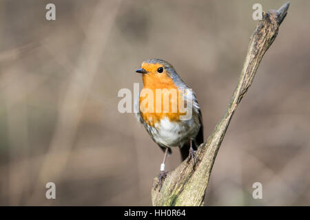 European robin (Erithacus rubecula) perched on a twig.This individual has been ringed (= banded in North America) - Stock Photo