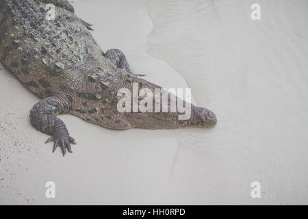 Crocodile on the sea shore . - Stock Photo