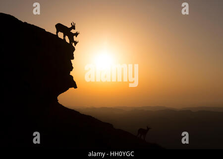 herd of Nubian Ibex (Capra ibex nubiana), climb down a cliff at sunrise. Photographed on the edge of the Ramon crater, - Stock Photo