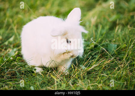 cute dwarf lop eared decorative miniature white fluffy rabbit bunny stock photo royalty free. Black Bedroom Furniture Sets. Home Design Ideas