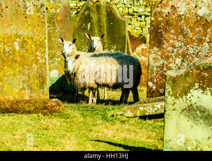 Sheep graze among gravestones at the churchyard of St Lawrence the Martyr in Kirkland Eden Cumbria - Stock Photo