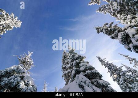 Common spruce (Picea abies), snow, view upward, Obere Steiermark, Steiermark, Styria, Austriatria - Stock Photo
