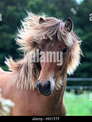 A portrait of an Icelandic horse filly with a beautiful highlighted mane - Stock Photo