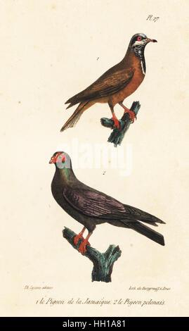Blue-headed quail-dove, Starnoenas cyanocephala (endangered), and black Polish carrier pigeon, Columba livia. Handcoloured - Stock Photo