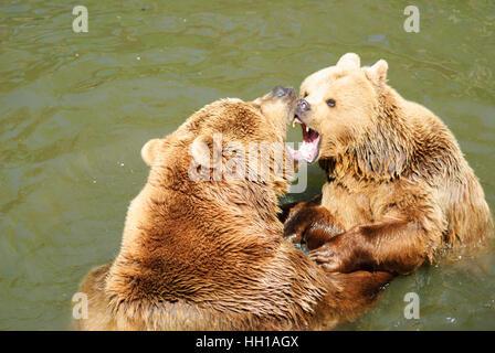Haag: Brown bear (Ursus arctos) in the animal park, Mostviertel, Niederösterreich, Lower Austria, Austria - Stock Photo