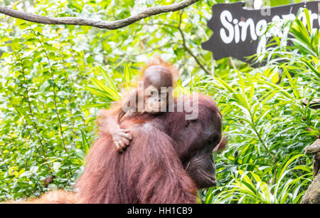 Mother and baby Orangutan at Singapore Zoo - Stock Photo