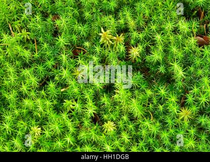 Polytrichum commune moss (Polytrichum commune), isolated peat moss (Sphagum sp.), Bavaria, Germany - Stock Photo