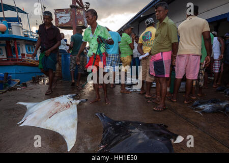 Local fishermen with reef manta ray (Manta alfredi) in front of fish market, Beruwela, Western Province, Sri Lanka - Stock Photo