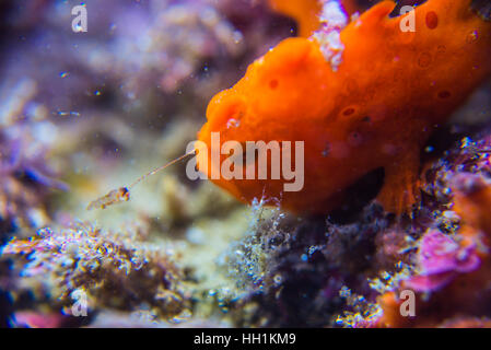 Lure fishing. Commerson's frogfish. Scientific name: Antennarius commerson  (Lacepède, 1798). Depth 12m. Owase Mie - Stock Photo