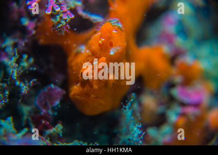 Commerson's frogfish. Scientific name: Antennarius commerson  (Lacepède, 1798). Depth 12m. Owase Mie Japan. - Stock Photo