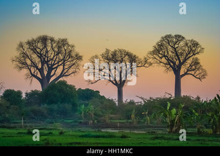 Baobab trees in the western part of Madagascar - Stock Photo