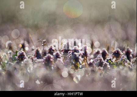 A small field of dew covered purple flowers is back-lit by the morning sun. - Stock Photo